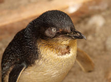小的蓝色企鹅画象 库存照片