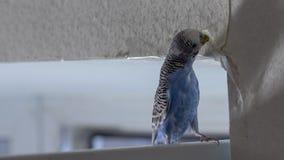 小的蓝色波浪鹦鹉,坐分支,咬泪花抓墙壁,造成害处裱糊墙纸 库存照片