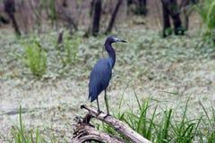 小的蓝色苍鹭在一棵下落的树栖息 免版税图库摄影