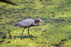 小的蓝色苍鹭拔塞螺旋沼泽 库存照片