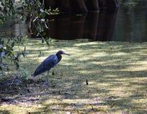 小的蓝色苍鹭涉水鸟 免版税库存图片