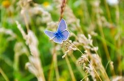小的蓝色蝴蝶坐草 野生生物自然宏指令照片 免版税库存照片