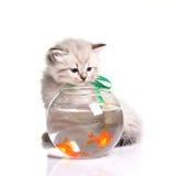小的小猫和金鱼 免版税库存图片