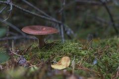 小的蘑菇在森林里 免版税图库摄影