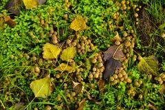 小的蘑菇掩藏和在上面的叶子的绿草 库存图片