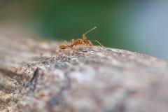 小的蚂蚁 库存照片