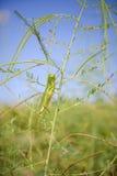 小的蚂蚱吃一棵草 库存照片
