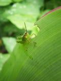 小的蚂蚱 免版税库存照片