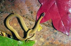 小的蛇黄色 免版税库存图片