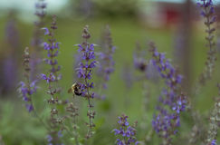 小的蜂坐一朵紫色花 库存图片