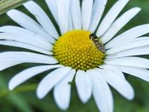 小的蜂坐雏菊 宏指令 免版税图库摄影