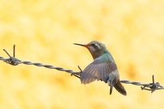 小的蜂鸟我 库存照片