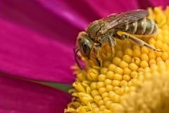 小的蜂 免版税库存图片