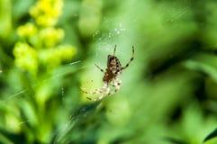 小的蜘蛛等待的晚餐 库存图片