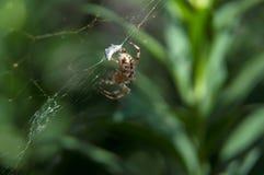 小的蜘蛛等待的晚餐 免版税库存图片