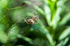 小的蜘蛛等待的晚餐 免版税图库摄影