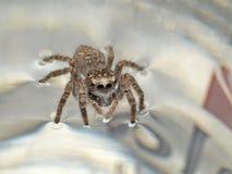小的蜘蛛 图库摄影