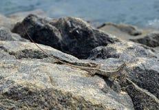 小的蜥蜴坐在自然细节照片的岩石 免版税库存照片