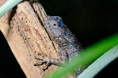 小的蜥蜴 库存照片