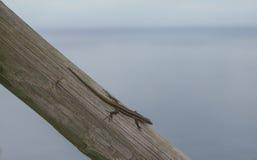 小的蜥蜴 免版税库存照片