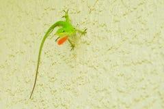 小的蜥蜴 图库摄影