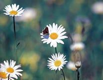 小的蝴蝶坐一朵雏菊花在一个夏天 免版税库存图片