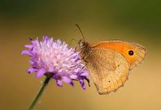 小的蝴蝶Maniola jurtina 免版税库存照片