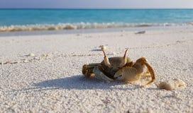 小的螃蟹在海滩走 免版税库存照片