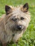 小的褴褛的棕色狗狗 免版税库存图片