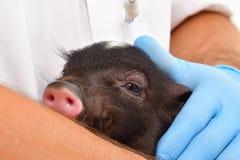 小的越南猪 库存图片