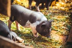 小的越南猪 免版税库存图片
