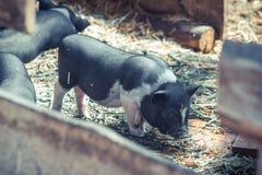 小的越南猪 图库摄影