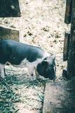 小的越南猪 库存照片