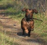 小的达克斯猎犬 库存图片