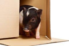 小的逗人喜爱的小猪,偷看箱子 免版税库存图片
