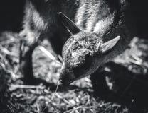 小的逗人喜爱的山羊 库存图片