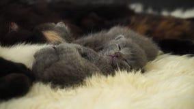 小的逗人喜爱的新出生的灰色小猫在绵羊毛皮睡觉 关闭 4K 股票录像