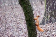 小的逗人喜爱的灰鼠在森林里 免版税库存图片