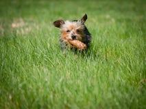 小的逗人喜爱的狗奔跑通过草甸和举行在他的嘴,狗戏弄佩带玩具 免版税库存照片