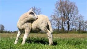 小的逗人喜爱的白色羊羔