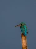 小的逗人喜爱的翠鸟 免版税图库摄影
