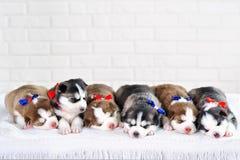 小的逗人喜爱的西伯利亚爱斯基摩人小狗 免版税库存照片