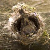 小的野生鸟 坐在巢的麻雀 免版税库存照片