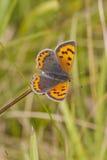 小的铜蝴蝶(Lycaena phlaeas) 免版税图库摄影