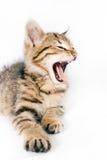 小的镶边小猫咆哮声 库存照片