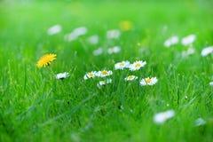 小的雏菊和蒲公英 免版税库存照片
