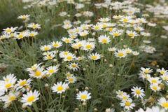 小的雏菊在庭院开花吹在风行动迷离 免版税库存照片