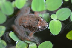 小的青蛙 库存照片
