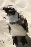 小的非洲企鹅 免版税库存图片