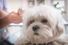 小的马耳他狗在狩医办公室 免版税库存照片